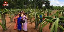 उन्नाव के किसान विनोद कुमार ड्रैगन फ्रूट ऊगा कर बन रहे हैं आत्मनिर्भर