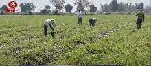 कोरोनावायरस: किसान मास्क लगाकर कर रहे हैं खेतों में काम